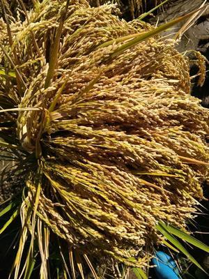 黑龙江省哈尔滨市五常市 稻花香大米 非有机大米 晚稻 一等品