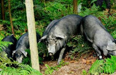 四川省泸州市古蔺县山林黑猪 200-300斤