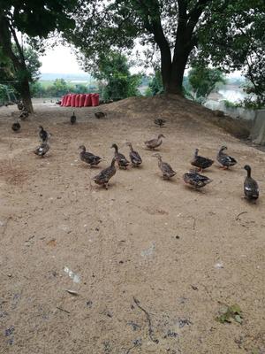江西省上饶市万年县绿头鸭 2-3斤