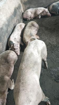 湖南省郴州市桂阳县三元猪 200-300斤