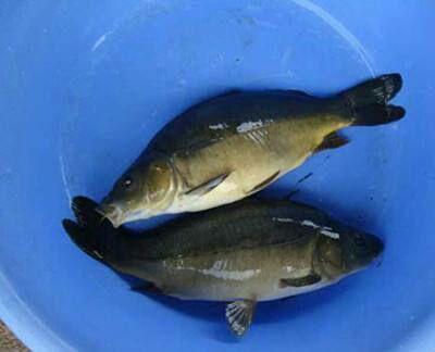 重庆合川区裸鲤 人工养殖 0.05公斤