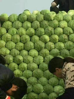 河北省邯郸市永年县中甘21甘蓝 1.5~2.0斤