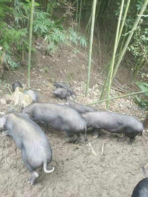 四川省雅安市宝兴县生态土黑毛猪 120斤以上