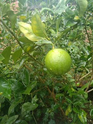 重庆万州区北京柠檬 1 - 1.5两