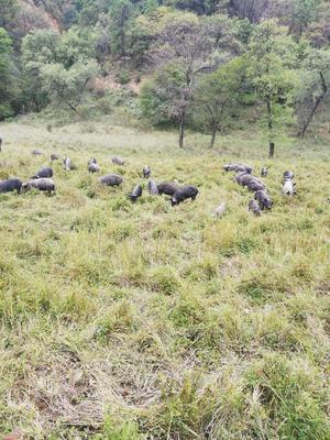 陕西省延安市富县生态野猪 140斤以上 统货