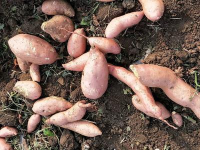 这是一张关于红心红薯 红皮 6两~1斤的产品图片