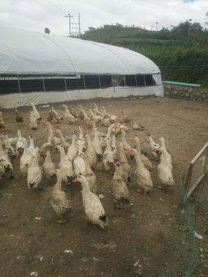 贵州省毕节市黔西县花边鸭 统货 全散养 5-6斤