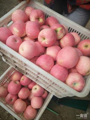 山东省烟台市福山区红富士苹果 光果 条红 80mm以上