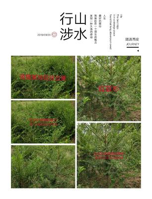 湖北省恩施土家族苗族自治州宣恩县南方红豆杉 1~1.5米