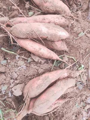 山东省德州市夏津县龙九双季商薯19 红皮 混装通货