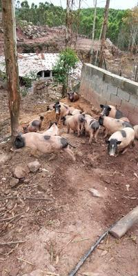 广西壮族自治区防城港市港口区巴马香猪 40-60斤