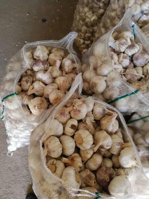 山东省莱芜市莱城区杂交大蒜 5~5.5cm 多瓣蒜
