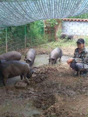 吉林省长春市九台区黑猪 200-300斤