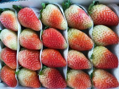 云南省曲靖市会泽县双流冬草莓 20克以上