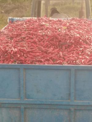 这是一张关于美国红辣椒 5~10cm 红色 中辣的产品图片