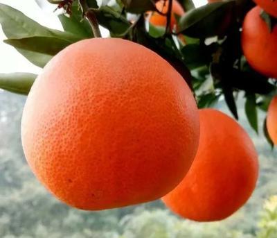 这是一张关于浓郁佳橙 7 - 7.5cm 5两以上的产品图片