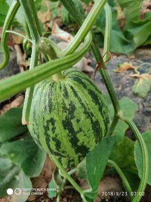 河北省廊坊市安次区花蕾甜瓜 1斤以上
