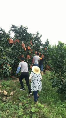 广东省梅州市梅县区红心柚 2斤以上