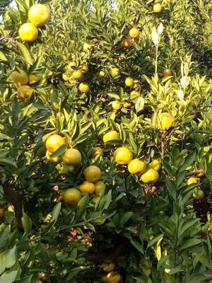 这是一张关于蜜桔 5 - 5.5cm 1.5 - 2两的产品图片