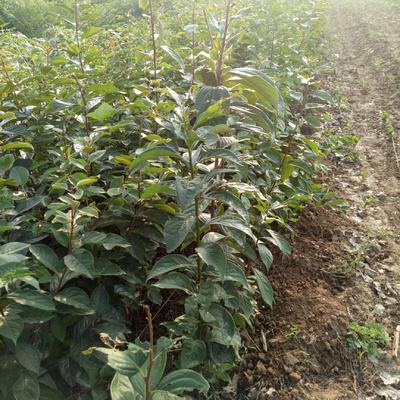 这是一张关于软枣苗的产品图片