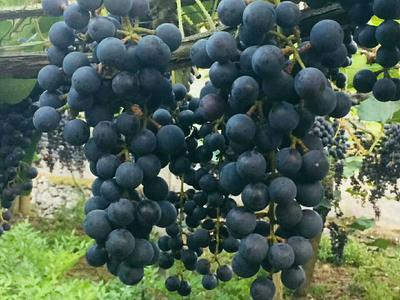 贵州省遵义市凤冈县酿酒葡萄 5%以下 1次果 0.4-0.6斤