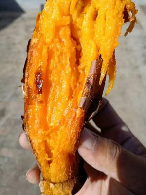 河北省廊坊市安次区烟薯25 红皮 6两~1斤