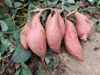 河北省廊坊市安次区烟薯25 红皮 3两~6两