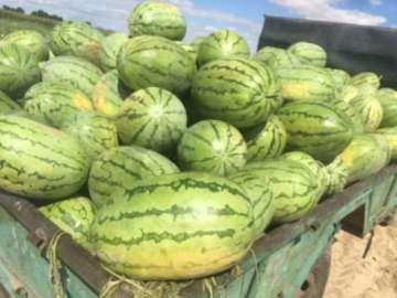 内蒙古自治区巴彦淖尔市乌拉特前旗沙漠一号 有籽 1茬 9成熟 7斤打底