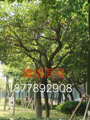 这是一张关于海南黄花梨 3.5~5米的产品图片