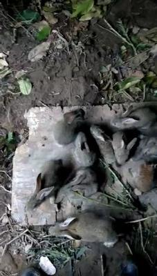 这是一张关于杂交野兔 1-3斤的产品图片