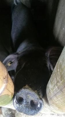 安徽省安庆市桐城市黑猪 160-200斤