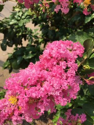 湖北省荆州市荆州区紫薇树