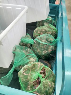 江苏省扬州市江都区生态大闸蟹 79.0两 母蟹