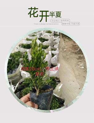 广东省揭阳市普宁市雀舌黄杨