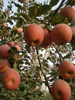 新疆维吾尔自治区阿克苏地区阿克苏市阿克苏冰糖心苹果 光果 条红 75mm以下