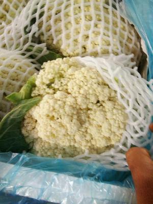 陕西省咸阳市三原县白面青梗松花菜 适中 2~3斤 乳白色