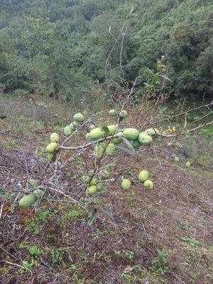 这是一张关于酸木瓜 0.5 - 1斤的产品图片