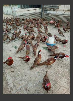广西壮族自治区柳州市柳南区七彩山鸡 2-3斤