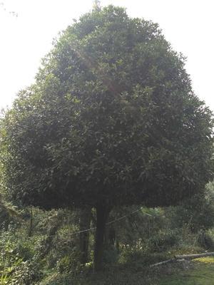 这是一张关于桂花树的产品图片