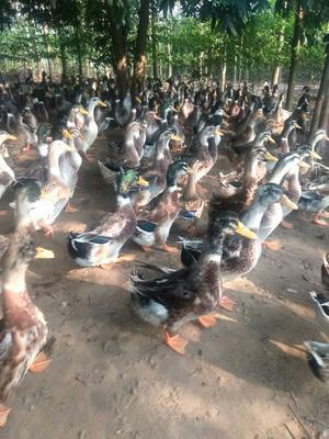 广西壮族自治区贵港市港北区绿头鸭 3-5斤