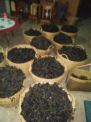 广西壮族自治区南宁市马山县原生态野生山葡萄 5%以下 1次果 0.4-0.6斤