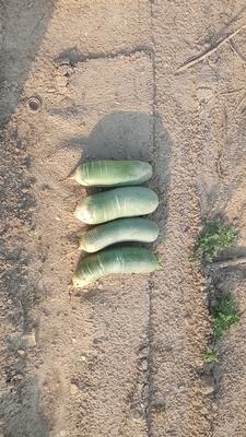 这是一张关于水果萝卜 1~1.5斤的产品图片