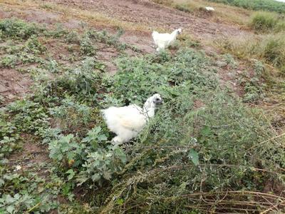 河南省平顶山市叶县白羽乌鸡 3-4斤