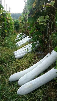 广西壮族自治区梧州市藤县铁瓜 8斤以上 白霜