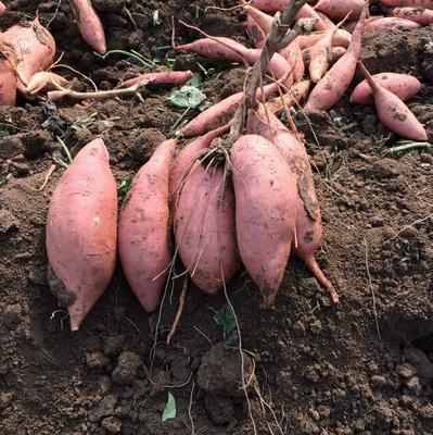 这是一张关于龙薯九号 红皮 混装通货的产品图片