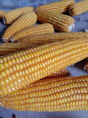四川省凉山彝族自治州会东县玉米干粮 霉变≤2% 净货