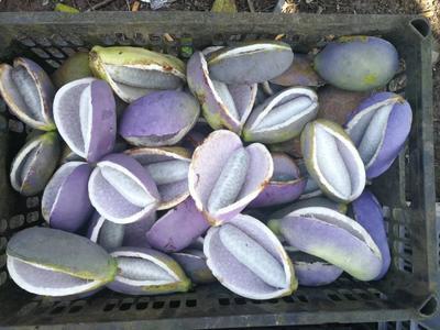 广东省深圳市宝安区紫色一号八月瓜 种植 150g以上