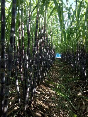 这是一张关于黑皮甘蔗 1.5 - 2m 4 - 5cm的产品图片