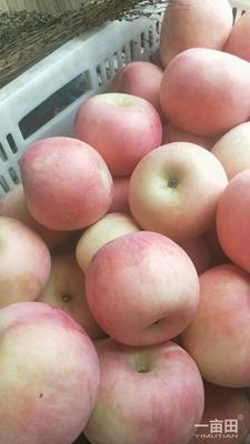 山东省烟台市栖霞市红富士苹果 纸+膜袋 条红 75mm以上
