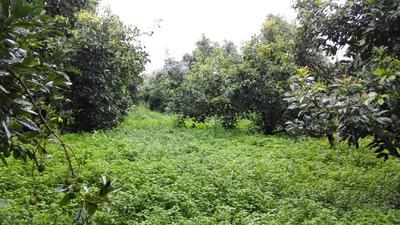 这是一张关于牛油果苗 0.5米以下的产品图片